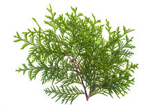 Thuja branch isolated Isolated on white background. Studio Photo Stock Images