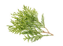 Thuja branch isolated. On white background Royalty Free Stock Photo