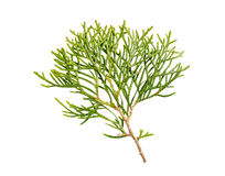 Thuja branch isolated. On white background Royalty Free Stock Images