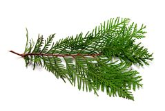 Thuja branch. Isolated on white background Stock Photography