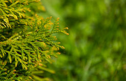 Thuja. Branch and small flying ant stock image