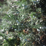 Thuja branch with tiny cone Royalty Free Stock Image