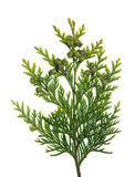 Thuja branch Royalty Free Stock Photo