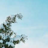 Thuja branch under snow. Against the blue sky Stock Photography