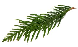 Thuja branch on white background. Thuja branch isolated on white background Stock Photography