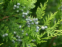 Thuja Branch With Cones Royalty Free Stock Photo