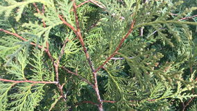 Thuja. The branches of the bush sway in the spring wind. Video shot on the iPhone 7 Plus stock footage