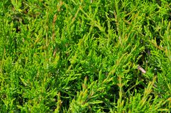 Thuja branches close-up. Background Royalty Free Stock Photo