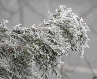 Thuja branches covered with hoarfrost Stock Photos