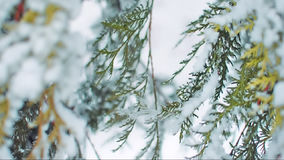 Thuja branches waggling slowly in the winter wind. Green thuja tree branches waggling slowly in the winter wind. Everything covered in a thick layer of snow stock video