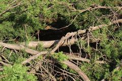 Tuja bush. clearance in the bush. garden design. stock image
