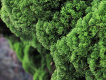Thuja bush Royalty Free Stock Photos