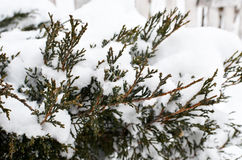 Thuja bushes covered snow Royalty Free Stock Images