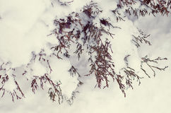 Thuja bushes covered snow. Thuja bushes covered with snow at winter Royalty Free Stock Photography