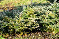 Thuja bushes in park Stock Photos