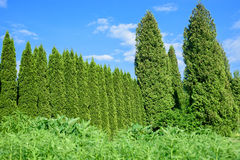Thuja cedar fence in garden Royalty Free Stock Images