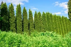 Thuja cedar fence in garden Royalty Free Stock Photography
