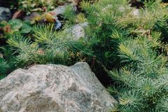 Thuja cling on the stone sunny forestgarden. Nature backgroung. Beautyful nature. stock images