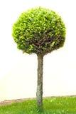 Thuja da árvore Fotos de Stock Royalty Free