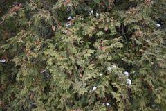 Thuja del árbol Imagenes de archivo