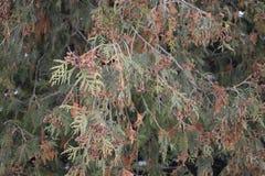 Thuja del árbol Fotos de archivo