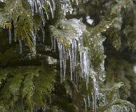 Thuja del ghiaccio Fotografie Stock Libere da Diritti