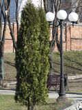 Thuja en parc Photo stock