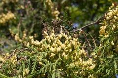 Thuja femelle de cônes Photographie stock