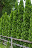 Thuja fence Royalty Free Stock Image