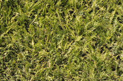 Thuja  fence closeup Stock Photo