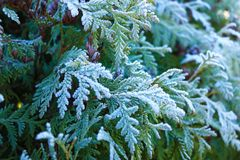 Thuja during the first frost. Frosted, white. Sunny morning stock images