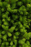 Thuja -  Flora green background. Green thuja - Flora green background Royalty Free Stock Images