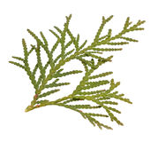 Thuja foliage. Isolated on the white background.  Royalty Free Stock Images