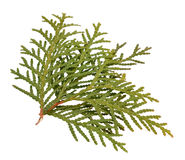 Thuja foliage Isolated on the white background. Thuja foliage Isolated on the white background Stock Image
