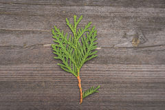 Thuja foliage on wood background Royalty Free Stock Photo