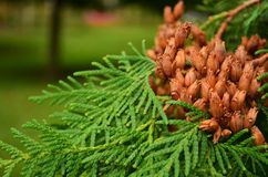 Thuja with fruit Stock Photography