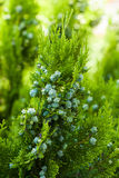 Thuja with fruits Royalty Free Stock Image
