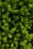Thuja - fundo verde da flora Imagens de Stock Royalty Free
