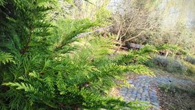 Thuja by the garden path stock images