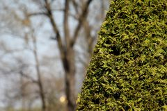 Thuja in the garden of St. Petersburg stock photography
