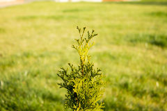 Thuja Stock Photo