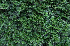 Thuja green as background Royalty Free Stock Images