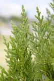 Thuja. Green branch of thuja,macro Royalty Free Stock Photos