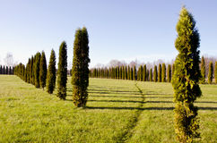 Thuja on the green  field Royalty Free Stock Photo