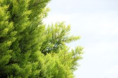 Thuja Green Giant Tree Stock Images