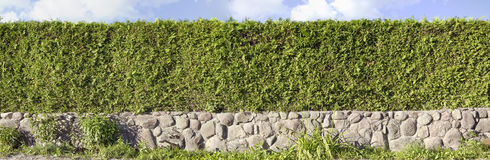 Thuja green hedges panoramic image Stock Photography