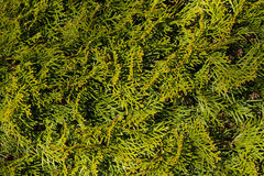 Thuja green natural background, thuja branches texture Royalty Free Stock Images