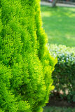 Thuja Royalty Free Stock Image