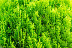 Thuja Stock Photography