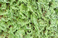 Thuja. Green Thuja texture for background Stock Image